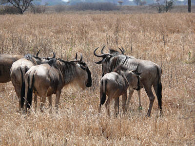 Gnus im Tarangire Nationalpark