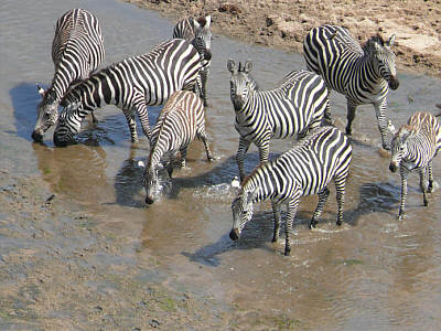 Zebras am Tarangire River, Tarangire Nationalpark