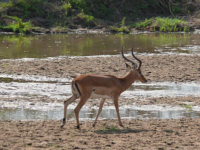 Impala-Bock am Tarangire River, Tarangire Nationalpark