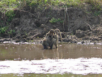 Pavianmutter mit Kind am Tarangire River, Tarangire Nationalpark